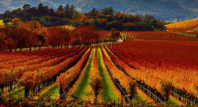 napa valley vines
