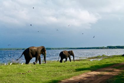 Elephants walking along a body of water in Sri Lanka