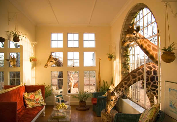 friendly giraffes at giraffe manor