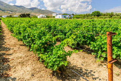 Greek Vineyard