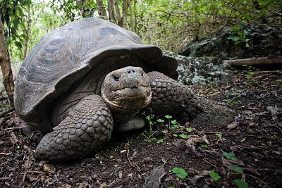 Giant Tortoise at Galapagos