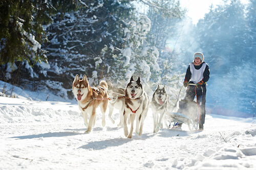 Husky Dog Sled Adventure