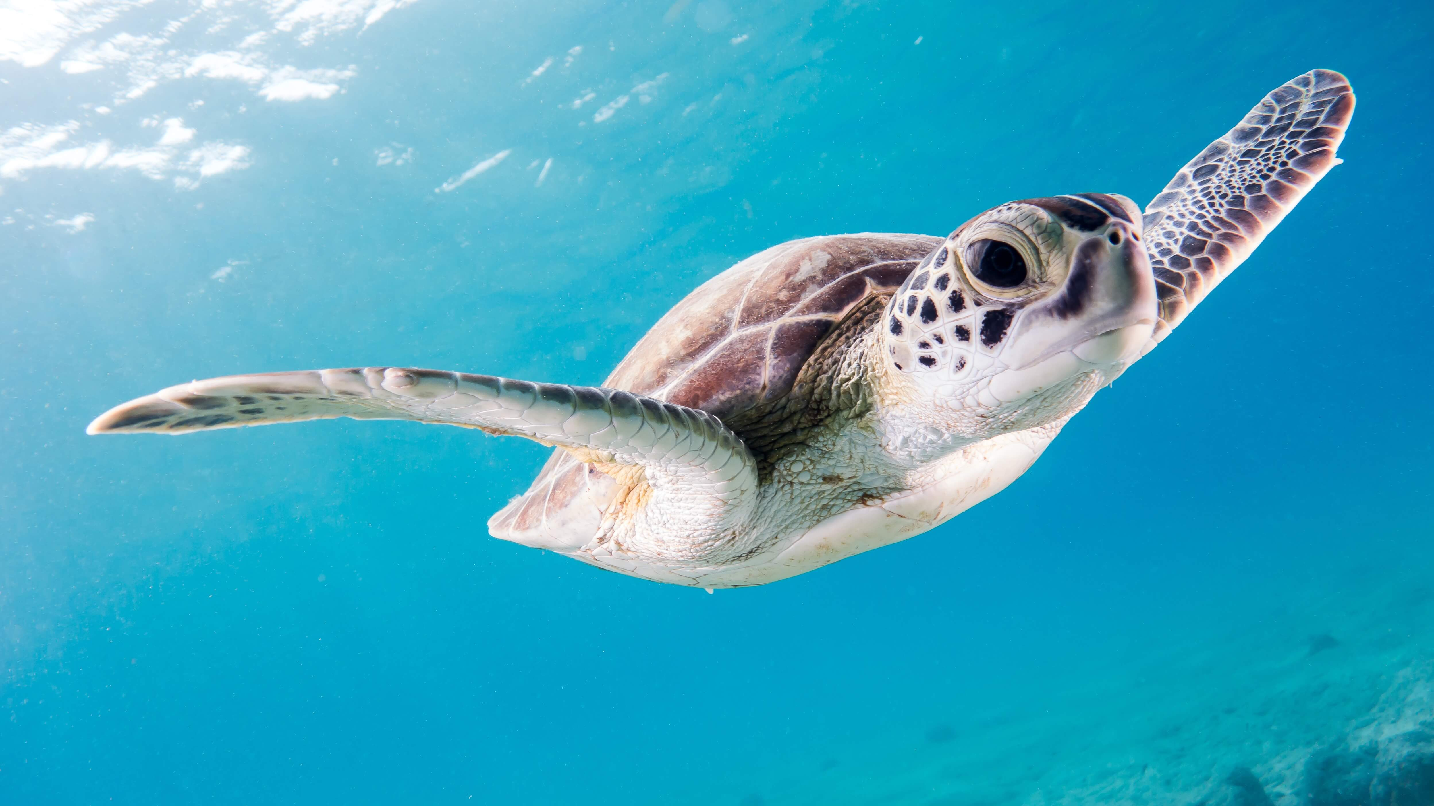 Save the endangered turtles in Maldives.