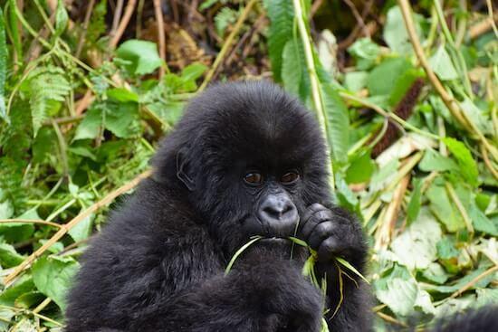 Gorilla Trekking in the Ugandan Jungle
