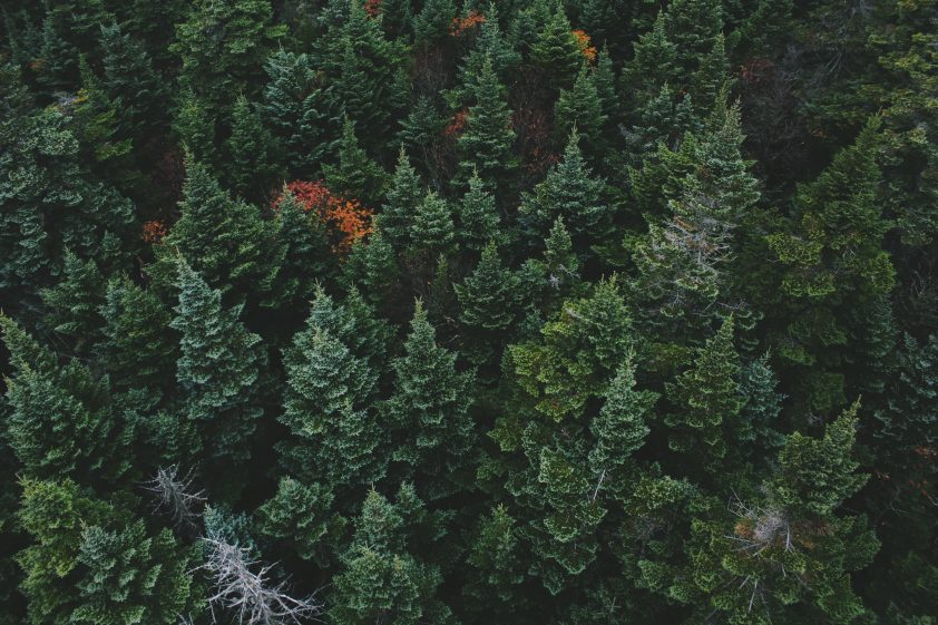 Forest of evergreen trees