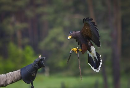 Falconry Experience 3rd Wedding Anniversary Gift