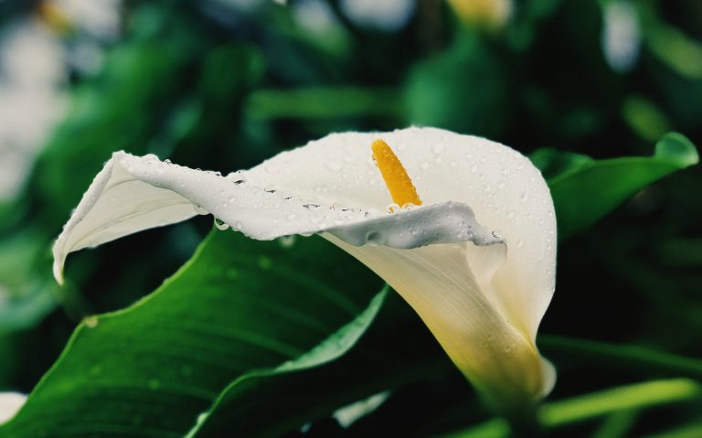 White Calla Lily flower covered in water droplets after rain