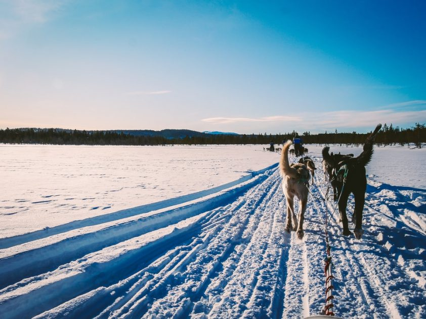 mushing with sled dogs