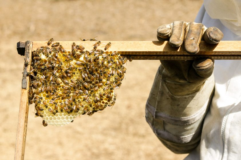 Collecting fresh honey from beehive