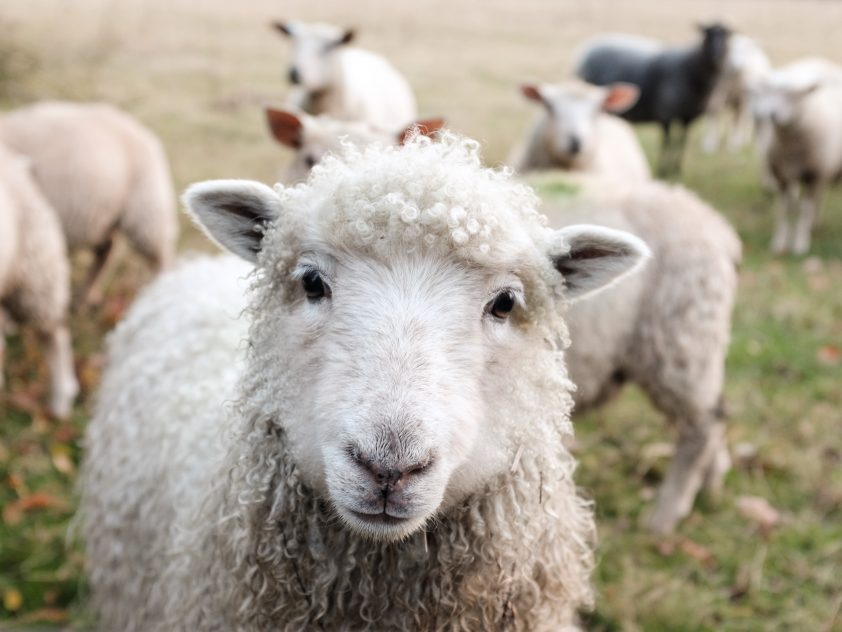 Close up of sheep in Swinford, UK