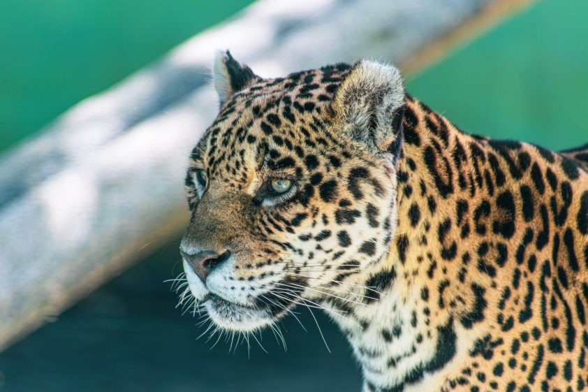 Wild jaguar of Brazil