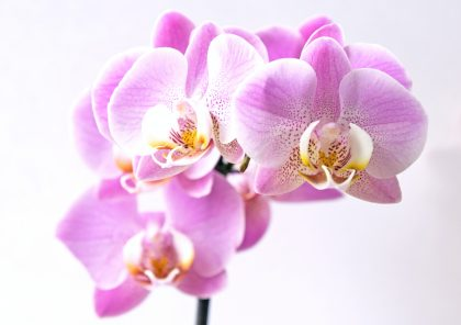 Pink orchids, the 14th anniversary flower
