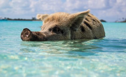 Pig swimming in the Bahamas
