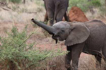 Baby elephant on African safari
