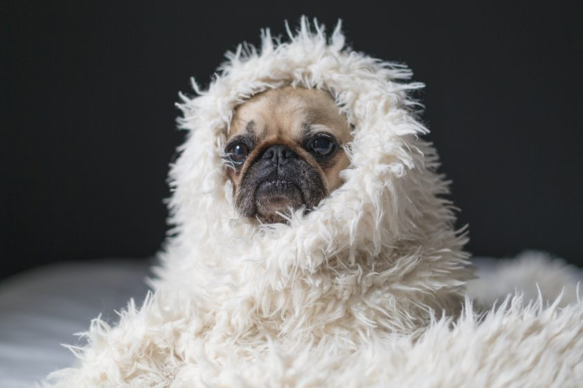 Pug wrapped up in cozy blanket
