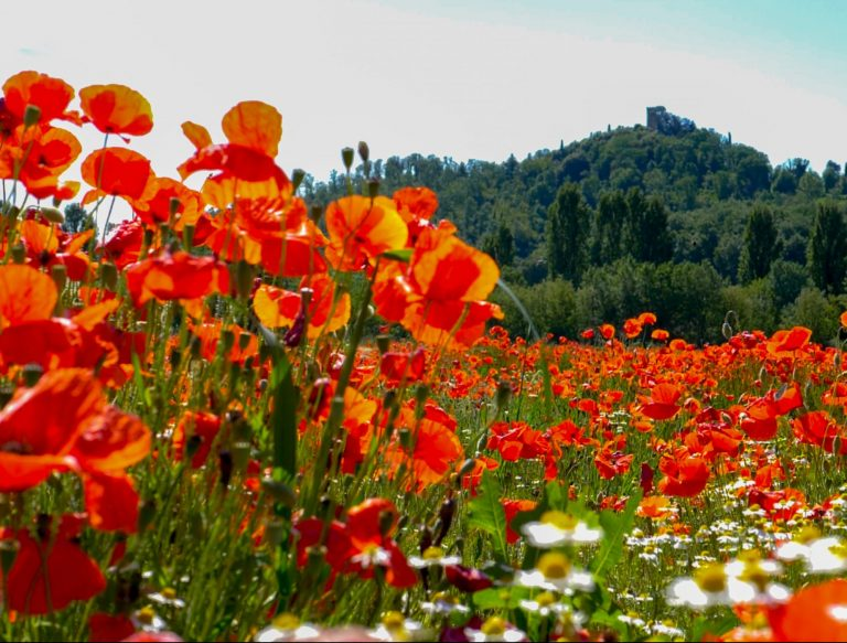 Poppy fields in Tuscany Italy