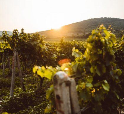 Sunset at Spanish vineyard