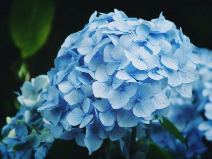 Blue hydrangea, 65th wedding anniversary flower