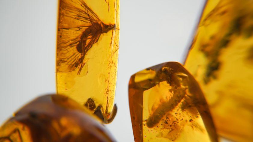Hổ phách thạch. Hổ phách Baltic đích thực với vĩ mô côn trùng hóa thạch thời tiền sử. Kính lúp và hổ phách tăng