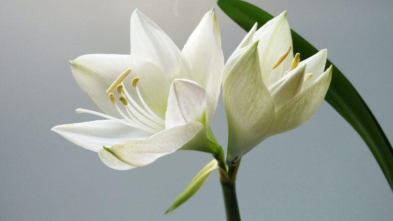 White Candidum lily flower