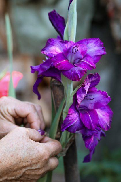 Gladiolus_garden