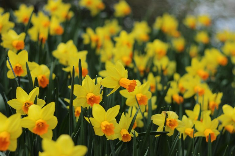 Field of Yellow Narcissus, the December birth flower