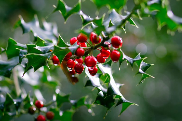Holly bush with berries