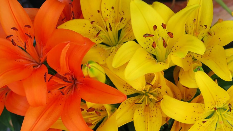 asiatic_lily_flowers