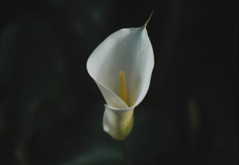 Single white calla lily flower