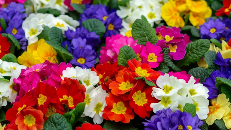 Colourful primrose polyanthus