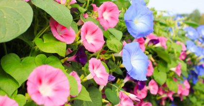 colourful morning glory flowers in blue, pink, and purple with green heart shaped leaves