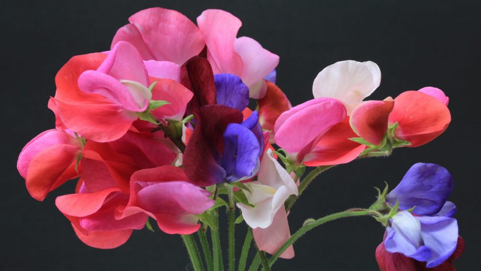 sweet peas in pink and blue varieties