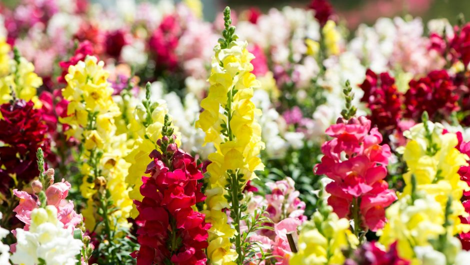 colorful snapdragon in the garden