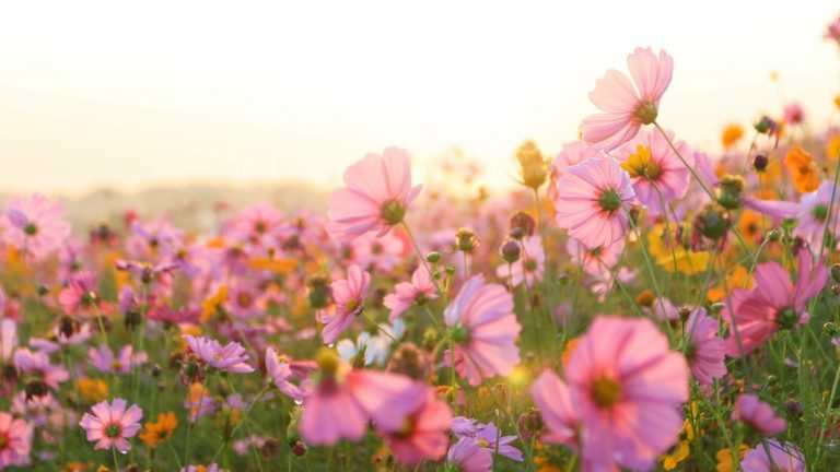 beautiful pink cosmos flower field