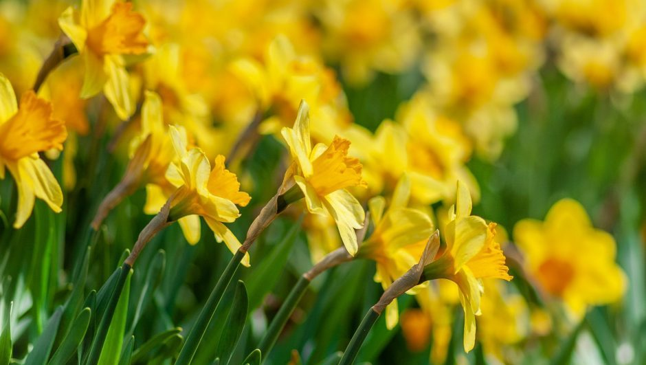 a garden full of yellow daffodils
