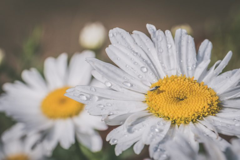 White daisies, the April birth flower