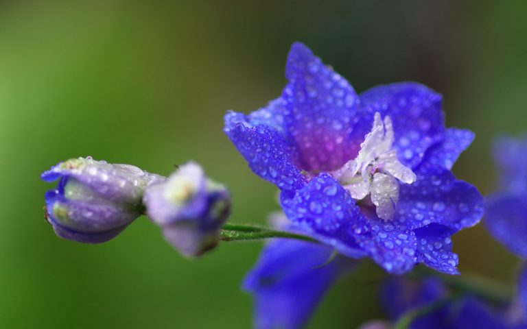Blue Larkspur flower, the July birth flower