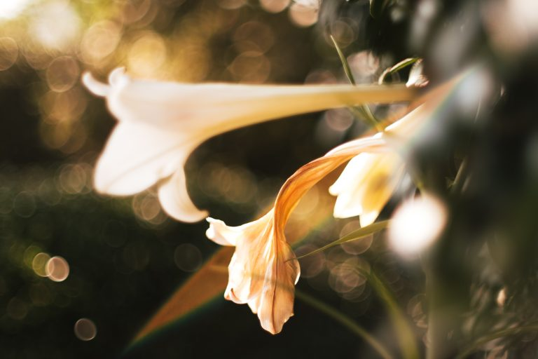White Easter lily in sunlight