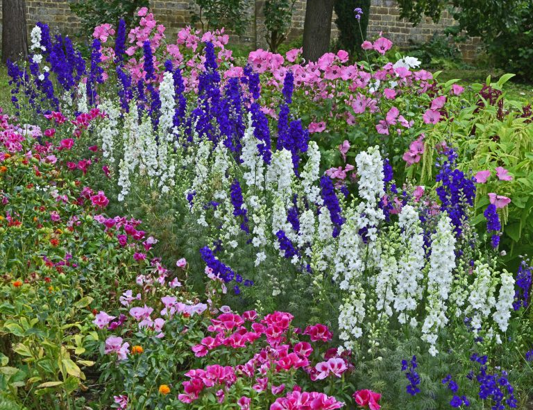 Colourful border with Delphinium consolida, Larkspur, Lavatera and Godetia flowers in a cottage garden