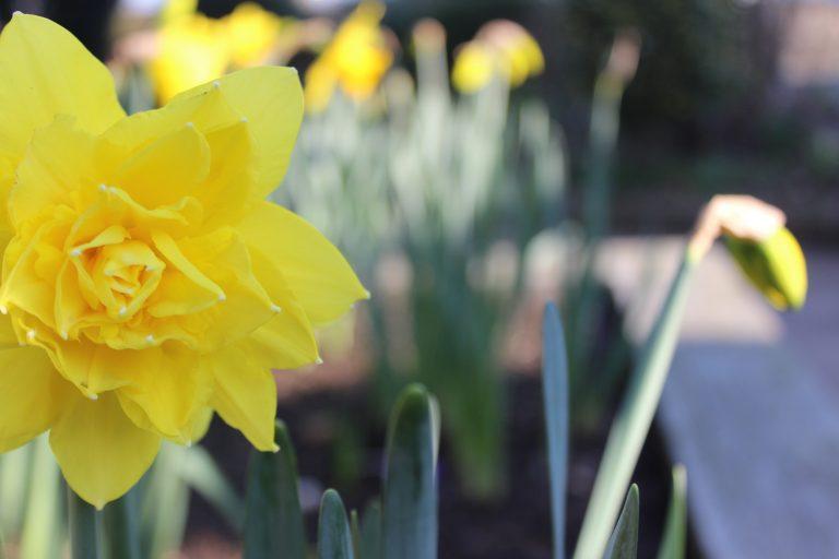 Golden ducat daffodil