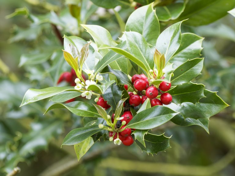 A bush of holly with red berries, the December birth flower