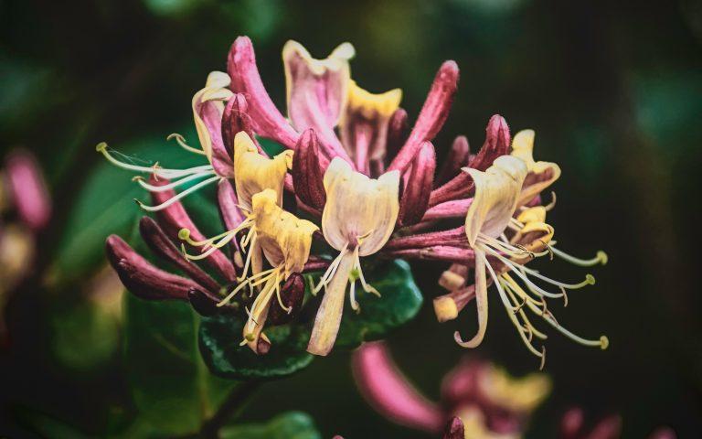 Pink honeysuckles, the June birth flower