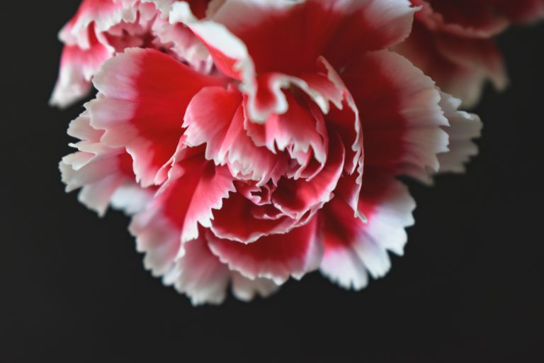 Pink and white carnation, the January birth month flower