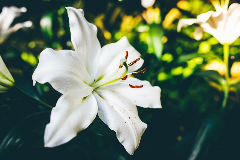 White lily flower, the Casablanca lily
