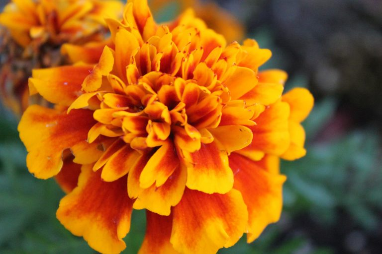 Marigold flower in full bloom