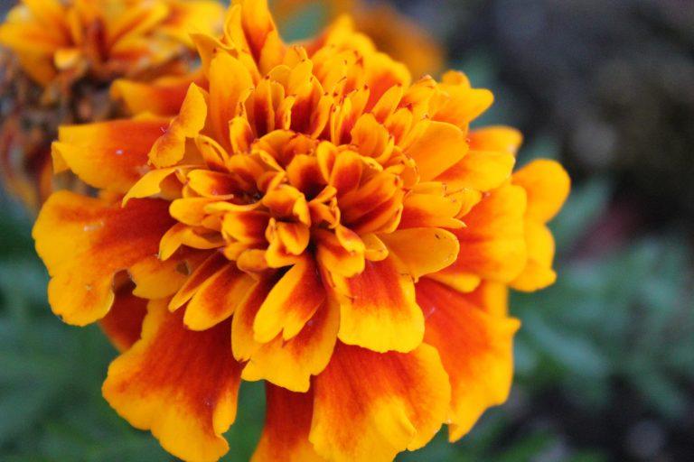 Orange marigold flower, the October birth flower