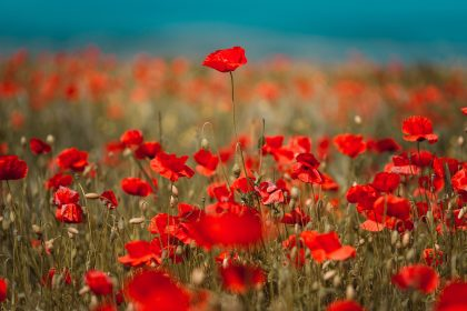 field of deep orange poppy flowers