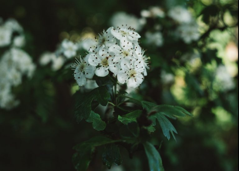 Hawthorn, one of the May birth flowers