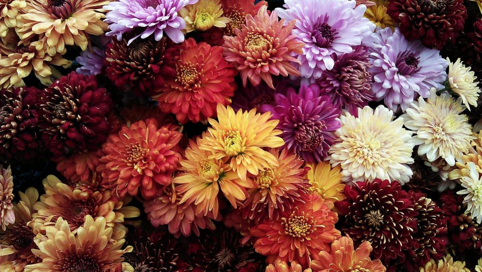 Different coloured chrysanthemum flowers