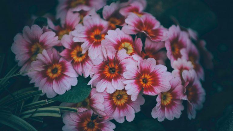 Garden of pink primrose flowers